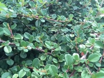 Cotoneaster procumbens 'Queen of Carpets' (Irga płożąca) - C1.5