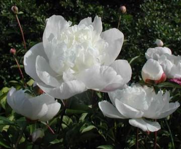 Paeonia 'Immaculee' (Piwonia) - C3