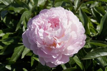 Paeonia 'Albert Crousse' (Piwonia) - C3