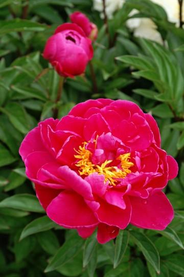 Paeonia 'Karl Rosenfield' (Piwonia) - C3