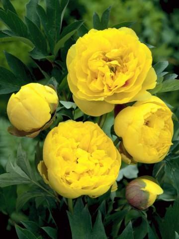 Paeonia ITOH 'Yellow Crown' (Piwonia Itoha) - C3
