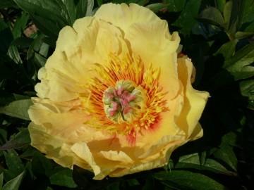 Paeonia ITOH 'Garden Treasure' (Piwonia Itoha) - C3