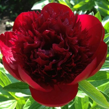 Paeonia lactiflora 'Red Charm' (Piwonia chińska) - C4