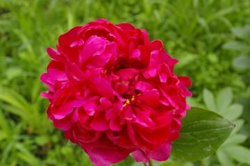 Paeonia 'Red Sarah Benhard' (Piwonia) - C3