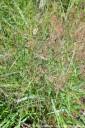 Panicum virgatum 'Warrior' (Proso rózgowate) - C3