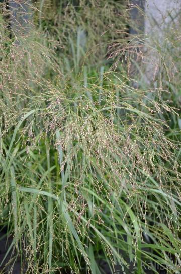 Panicum virgatum 'Rehbraun' (Proso rózgowate) - C2