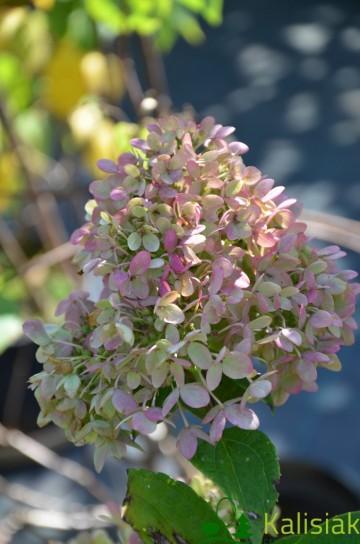 Hydrangea paniculata LITTLE LIME 'Jane' (Hortensja bukietowa) - C3