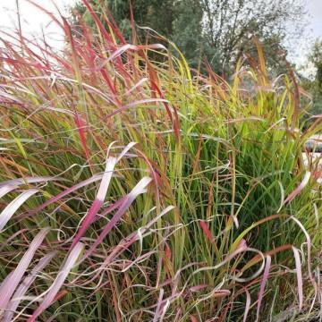 Miscanthus sinensis 'Purple Fall' (Miskant chiński) - C2.5