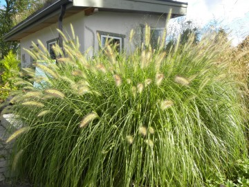 Pennisetum alopecuroides 'Paul's Giant' (Rozplenica japońska) - C3