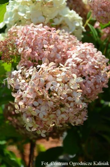 Hydrangea arborescens 'Pink Annabelle' (Hortensja krzewiasta) - C5