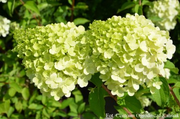 Hydrangea paniculata 'Polar Bear' (Hortensja bukietowa) - C4