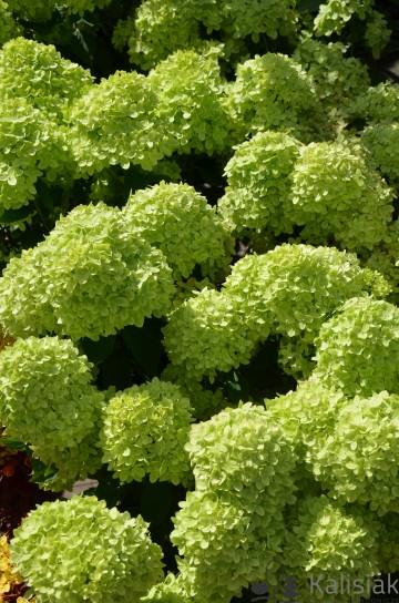 Hydrangea paniculata LITTLE LIME 'Jane' (Hortensja bukietowa) - C4