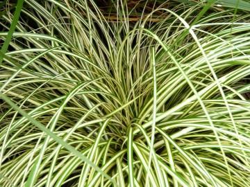 Carex oshimensis 'Evergold' (Turzyca oszimska) - C3