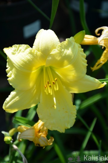 Hemerocallis 'Big Time Happy' (Liliowiec ogrodowy) - C3