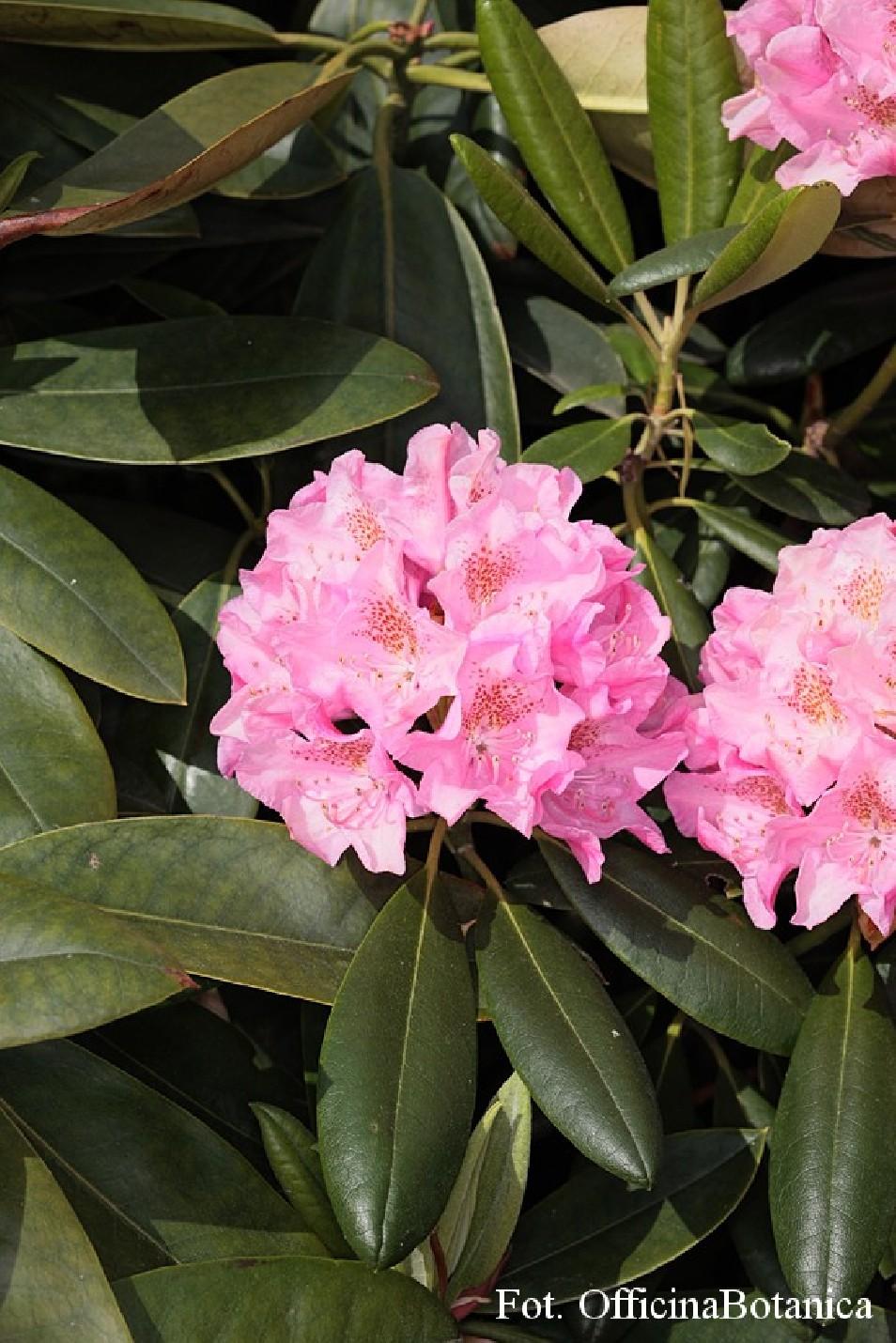 Rhododendron 'Helsinki University'