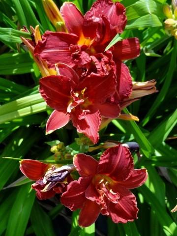 Hemerocallis 'Double Firecracker' (Liliowiec ogrodowy) - C3