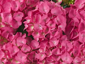 Hydrangea macrophylla 'Jip Pink' (Hortensja ogrodowa) - C5
