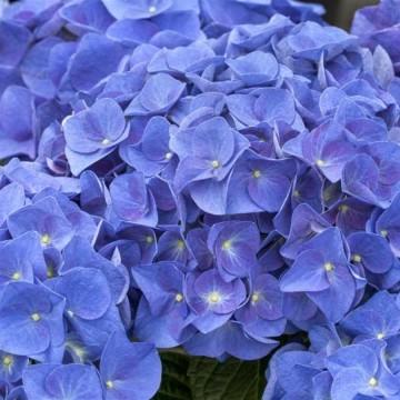 Hydrangea macrophylla 'Jip Blue' (Hortensja ogrodowa) - C5