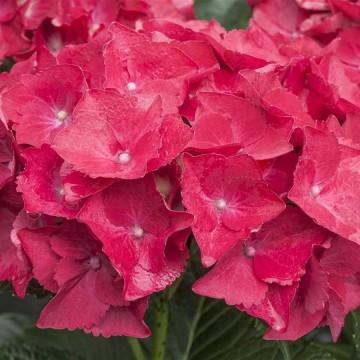 Hydrangea macrophylla 'Hot Red' (Hortensja ogrodowa) - C5