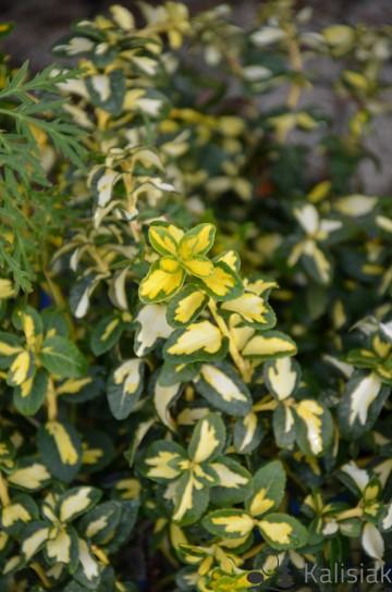 Euonymus fortunei BLONDY 'Interbolwi' (Trzmielina Fortune'a) - C2