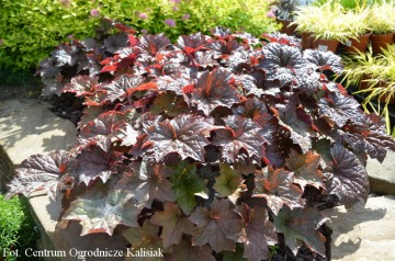 Heuchera micrantha 'Palace Purple' (Żurawka drobna) - C1