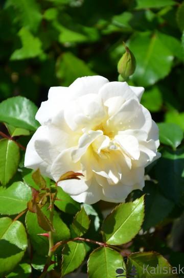 Rosa Easy Elegance 'Champagne Wishes' (Róża) - C5