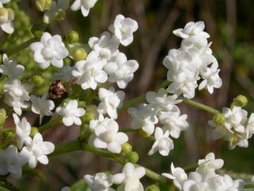 Sambucus nigra 'Plena' (Bez czarny) - C5