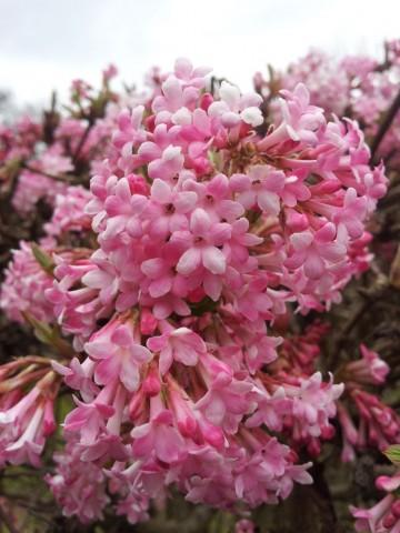 Viburnum bodnantense 'Dawn' (Kalina bodnantska) - C2