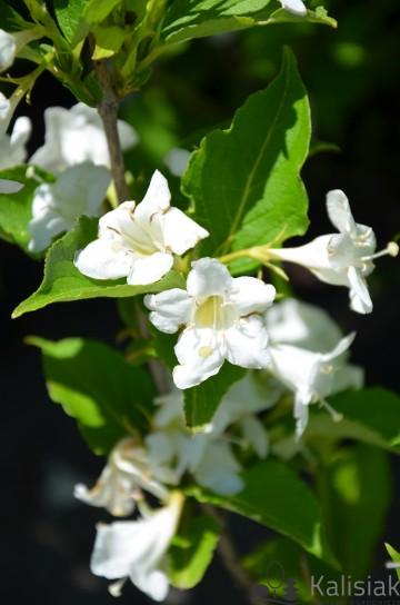 Weigela florida 'Heroine' (Krzewuszka cudowna) - C2