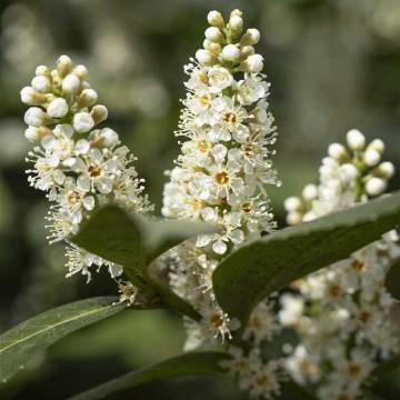 Prunus laurocerasus 'Piranha' (Laurowiśnia wschodnia) - C9