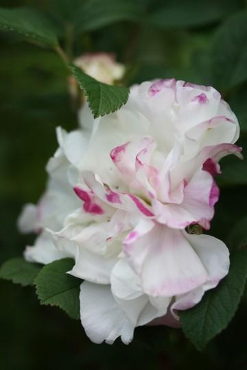 Rosa 'Louise Bugnet' (Róża kanadyjska) - C4