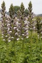 Acanthus hungaricus 'White Lips' (Akant węgierski) - C5