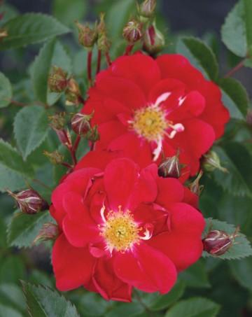 Rosa 'Henry Kelsey' (Róża kanadyjska) - C4