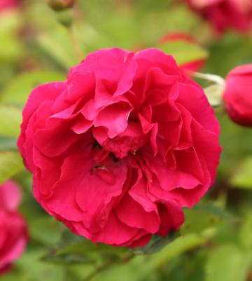 Rosa 'Morden Amorette' (Róża kanadyjska) - C4