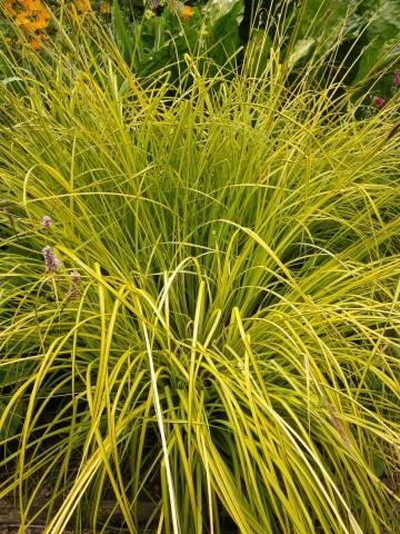 Carex elata 'Aurea' (Turzyca sztywna) - C3
