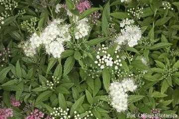 Spiraea japonica 'Albiflora' (Tawuła japońska) - C2