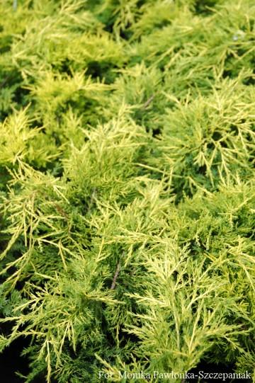 Juniperus ×pfitzeriana 'Gold Coast' (Jałowiec Pfitzera) - C2