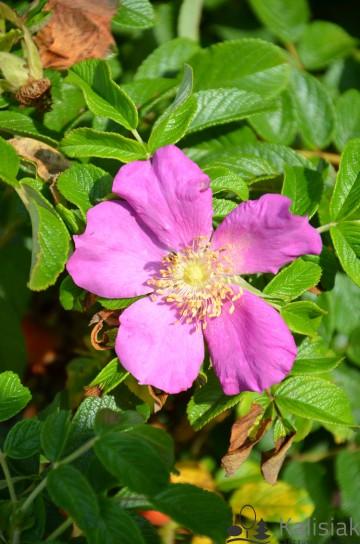 Rosa rugosa (Róża pomarszczona) - C5