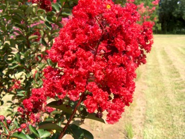 Lagerstroemia indica RED ROCKET 'Whit IV' (Lagerstremia indyjska) - C2