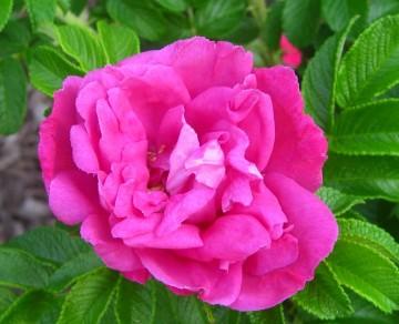 Rosa rugosa 'Moje Hammarberg' (Róża pomarszczona) - C2