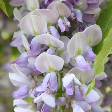 Wisteria sinensis 'Caroline' (Glicynia) - C3