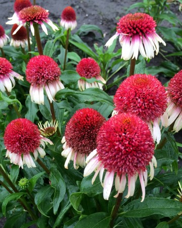 Echinacea 'Strawberry and Cream' (Jeżówka) - C2