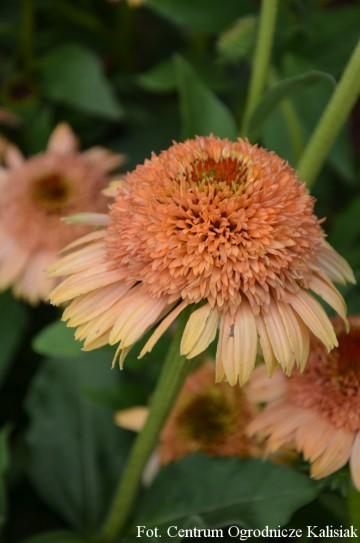 Echinacea 'Supreme Cantaloupe' (Jeżówka) - C2