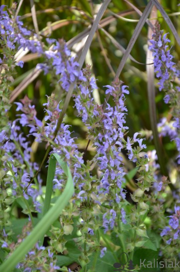 Salvia 'Deep Blue Field' (Szałwia omszona) - C1.5