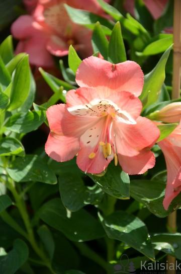 Alstroemeria VALLEY GIRL 'Tesvalgirl' (Alstremeria ogrodowa) - C2
