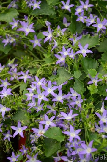 Campanula poscharskyana 'Hirsch Blue' (Dzwonek dalmatyński) - C2