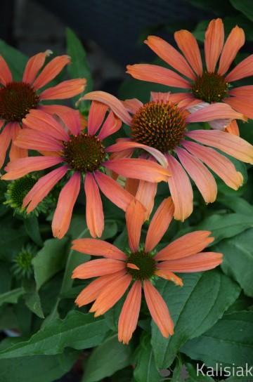 Echinacea 'Cornetto Orange' (Jeżówka) - C2