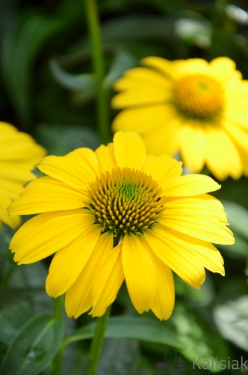 Echinacea 'Sombrero Lemon Yellow' (Jeżówka) - C2