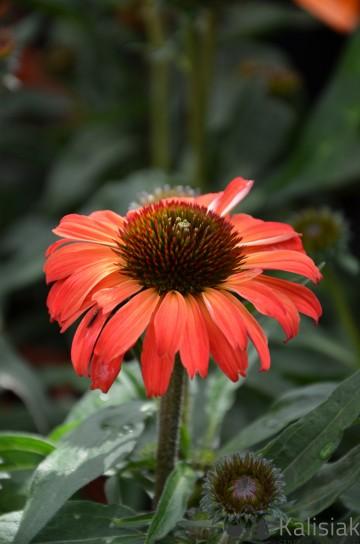Echinacea 'Flame Thrower' (Jeżówka) - C2