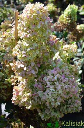 Hydrangea paniculata MAGICAL CANDLE 'Bokraflame' (Hortensja bukietowa) - C4